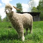 500px-quebec_angora_goat