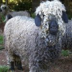 colored_angora_goat