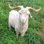 angora-goat1