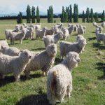 angora_goat_11_12